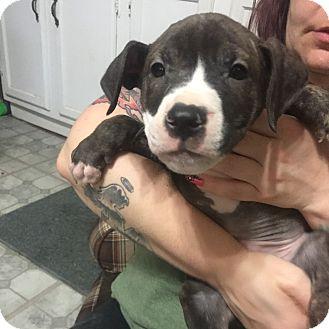 Labrador Retriever/Plott Hound Mix Puppy for adoption in Vernon, Connecticut - Buzz