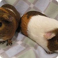 Adopt A Pet :: Butterscotch - Steger, IL