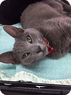 Russian Blue Cat for adoption in Mansfield, Texas - Willow