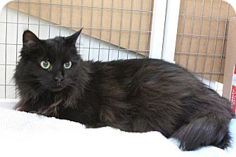Domestic Longhair Cat for adoption in Medfield, Massachusetts - Lily