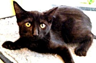 Domestic Shorthair Kitten for adoption in Sidney, Maine - Icy