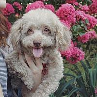 Adopt A Pet :: Brownie - Culver City, CA