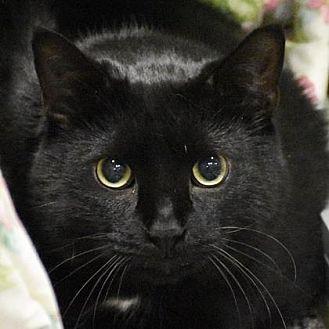 Domestic Shorthair Cat for adoption in Fairport, New York - Oreo