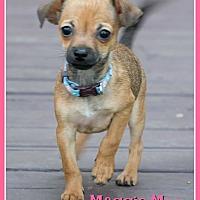 Adopt A Pet :: Maggie Moo - Elburn, IL