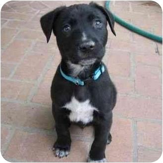 Labrador Retriever/American Pit Bull Terrier Mix Puppy for adoption in Berkeley, California - Davis
