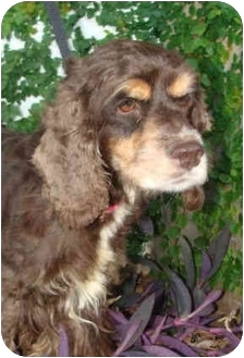 Cocker Spaniel Dog for adoption in Sugarland, Texas - Betsy