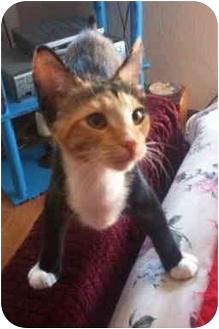 Domestic Shorthair Kitten for adoption in Davis, California - Ginger
