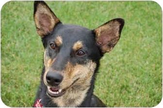 Australian Cattle Dog/Shepherd (Unknown Type) Mix Dog for adoption in Northville, Michigan - Skippy - Video!