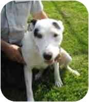 English Pointer Mix Dog for adoption in Harrodsburg, Kentucky - Gabby