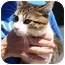Photo 2 - Domestic Shorthair Cat for adoption in Chesterland, Ohio - Gary