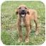 Photo 3 - Labrador Retriever/Beagle Mix Puppy for adoption in Windham, New Hampshire - Becks