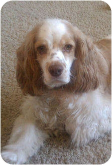 Cocker Spaniel Dog for adoption in Sugarland, Texas - Noelle #2