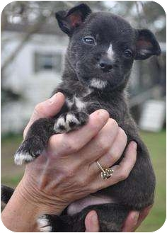 Boston Terrier/Chihuahua Mix Puppy for adoption in Wakefield, Rhode Island - BROWNIE (DELICIOUS)