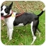 Photo 3 - Boston Terrier Mix Dog for adoption in North Augusta, South Carolina - LEXI