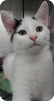 Domestic Shorthair Cat for adoption in Orland Park, Illinois - Kitten 1