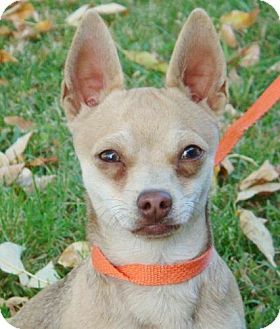 Chihuahua Mix Dog for adoption in Red Bluff, California - Cheekers