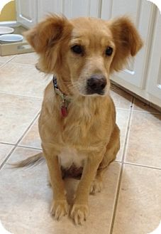 Golden Retriever Mix Dog for adoption in New Canaan, Connecticut - Goldie