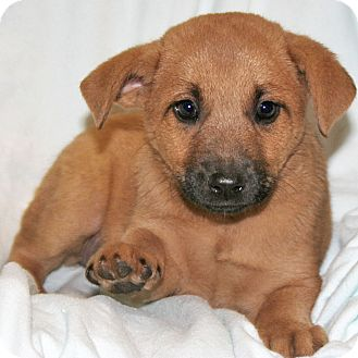 Labrador Retriever/Shepherd (Unknown Type) Mix Puppy for adoption in Howell, Michigan - Eeny, Meeny, Miny