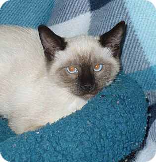 Siamese Kitten for adoption in Pueblo West, Colorado - Ling