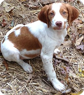 Brittany Puppy for adoption in Harrisonburg, Virginia - Jingle Belle