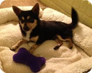 Pomeranian/Feist Mix Dog for adoption in Nanuet, New York - Blakely