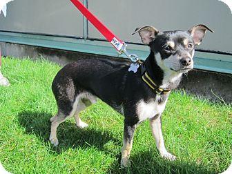 Chihuahua/Miniature Pinscher Mix Dog for adoption in Gig Harbor, Washington - Ralphie