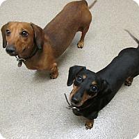 Adopt A Pet :: Ziggy & Marley - Gilbert, AZ
