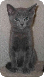 Russian Blue Kitten for adoption in Sacramento, California - Zak