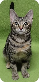 Bengal Kitten for adoption in Round Rock, Texas - Bebe the Bengle