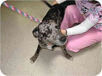Catahoula Leopard Dog Dog for adoption in Lavon, Texas - Spring