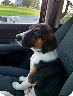 Shepherd (Unknown Type) Mix Puppy for adoption in Allentown, Pennsylvania - Mac (cr)