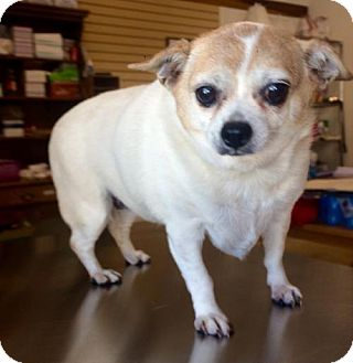Chihuahua Mix Dog for adoption in Chico, California - Nora