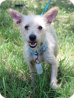 Norfolk Terrier/Terrier (Unknown Type, Small) Mix Dog for adoption in Madison, Wisconsin - SHAWNA
