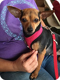 Chihuahua Mix Dog for adoption in Greensboro, Maryland - Roxy