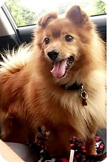 Pomeranian/American Eskimo Dog Mix Dog for adoption in St. Louis, Missouri - Peanut Butter