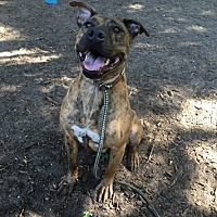 Hound (Unknown Type) Mix Dog for adoption in Brookhaven, New York - Champ