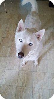 Shepherd (Unknown Type)/Husky Mix Dog for adoption in Blue Bell, Pennsylvania - Zeno
