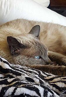 Siamese Cat for adoption in Monrovia, California - Barbie