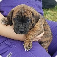 Adopt A Pet :: Carter $250 - Seneca, SC