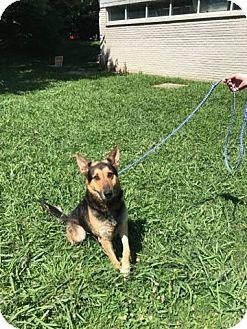 German Shepherd Dog Mix Dog for adoption in Portland, Maine - Keene