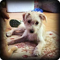 Terrier (Unknown Type, Small) Mix Puppy for adoption in Tijeras, New Mexico - Betty
