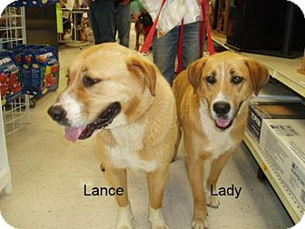 St. Bernard/Labrador Retriever Mix Dog for adoption in Cantonment, Florida - Lance