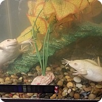 Frog for adoption in Manhattan, Kansas - African Clawed Frogs