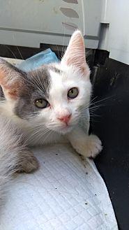Domestic Shorthair Kitten for adoption in La puente, California - Ash