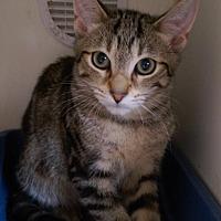 Adopt A Pet :: Harris - Brooklyn, NY