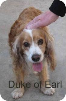 Cocker Spaniel/Brittany Mix Dog for adoption in Poway, California - Duke (of Earl)