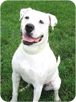 Boxer/Pit Bull Terrier Mix Dog for adoption in Lake Odessa, Michigan - Remmy