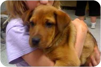 Hound (Unknown Type)/Shepherd (Unknown Type) Mix Puppy for adoption in Crosby, Texas - P-Conroe