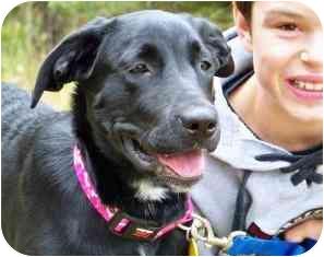 Labrador Retriever/Golden Retriever Mix Puppy for adoption in Osseo, Minnesota - Pepper