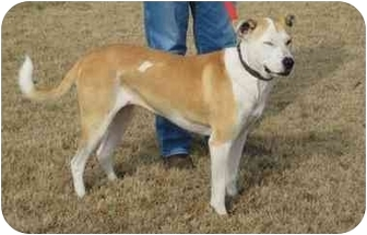 Labrador Retriever/Terrier (Unknown Type, Medium) Mix Dog for adoption in Salem, New Hampshire - Charlie